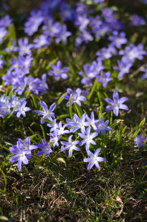 Scilla bifolia in a group in springtime enjoying the sun. Stockfoto