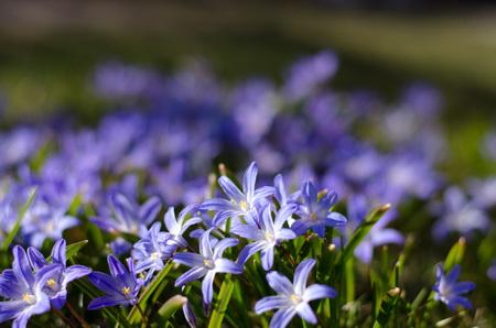 Scilla bifolia in a group in springtime enjoying the sun. Standard-Bild - 122873593