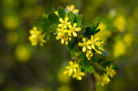 Ribes aureum, also known as golden currant, clove currant, pruterberry and buffalo currant, is blooming on early spring