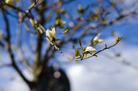 Magnolia tree blooming in spring with blue sky in the background