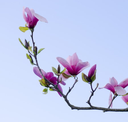 Magnolia tree blooming in spring with blue sky in the background Stockfoto - 122873619