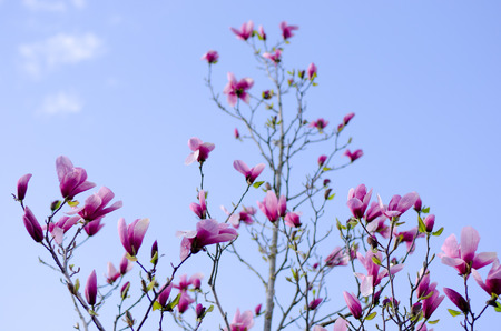 Magnolia tree blooming in spring with blue sky in the background Stockfoto - 122873621