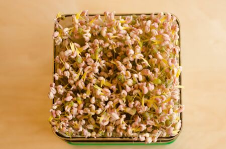 Making of mungbean sprouts on a tray on a wooden table. Unfocused background. Day 5 Stockfoto