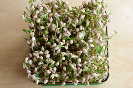 Making of mungbean sprouts on a tray on a wooden table. Focused background. Day 6