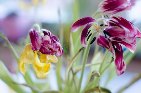 A bouquet of tulips fading away. Stockfoto