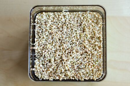 Buckwheat sprouts in the making. Unfocused background. Day 3