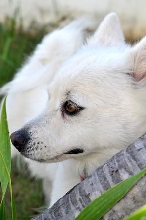 pom: White Pom Spitz Enjoy Playing In The Garden Stock Photo