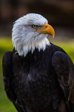 Portrait of bald eagle sitting on a root