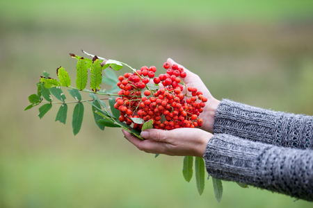 Orange Sorbus berries in a womans hand. Abstract autumn background.