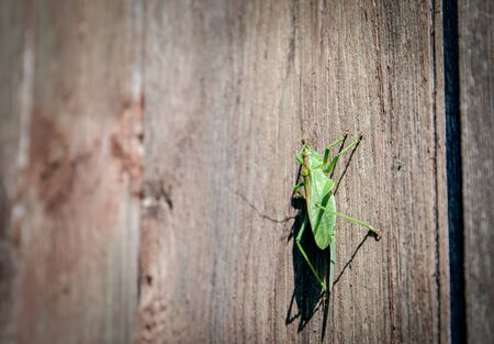 Grasshopper standing on a wooden wall. Animals and wildlife