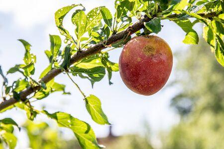 Plum tree with big red plum at daytime, closeup