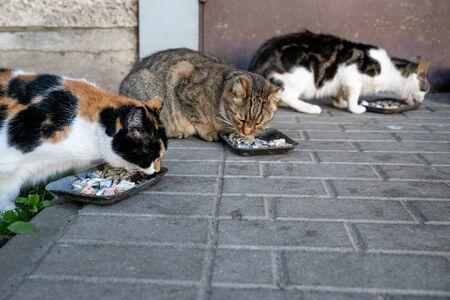 Three street cats eat fish. Apartment yard with pedestrian walkway