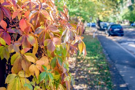 Sunshine through colorful autumn leaves of the bush near a metal fence. Beautiful day of fall season