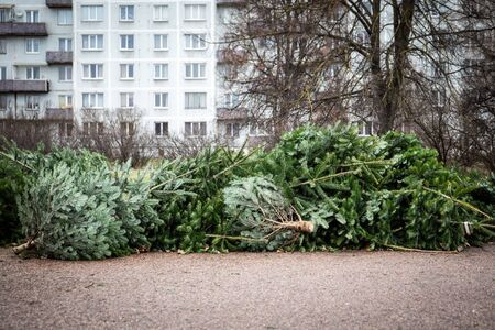 Stack of green Christmas tree on the ground left after celebration