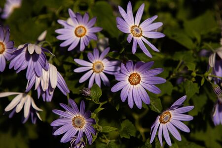 Mauve purple flowers of Dimorphotheca ecklonis or Osteospermum, commonly known as Cape marguerite, Sundays river daisy, blue and white daisy bush or star of the veldt, in a garden in a sunny summer day