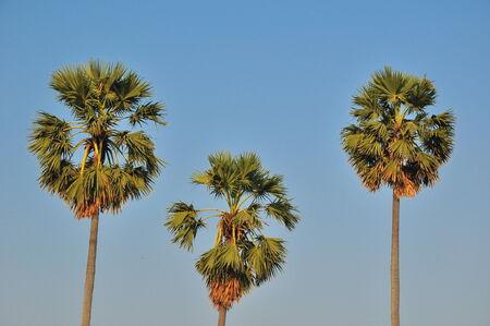palmy: Sugar Palm 3 trees