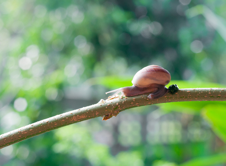 excrement: Snail on the branch of plant in raining on nature in the morning with excrement Stock Photo