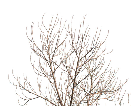 barren: Tree is not leaves anf branch of dead tree on white background