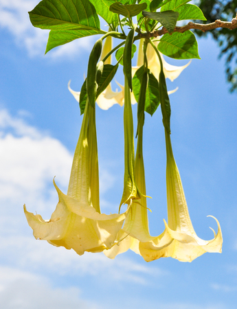 yellow and white Datura flower in garden on blue sky. Focus at left side flower
