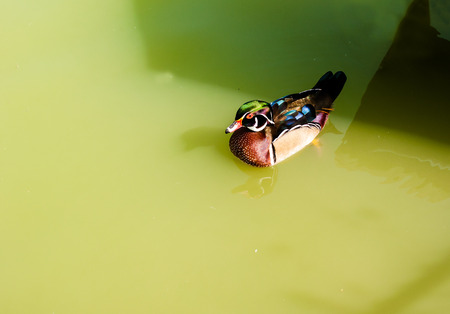 dabbling: Mandarin duck swimming in pool