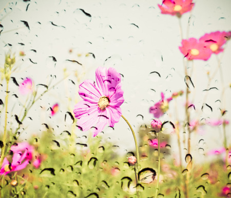 waterdrop: pink color of cosmos flower field on waterdrop on glass texture background. vintage color tone with filter color effect Stock Photo