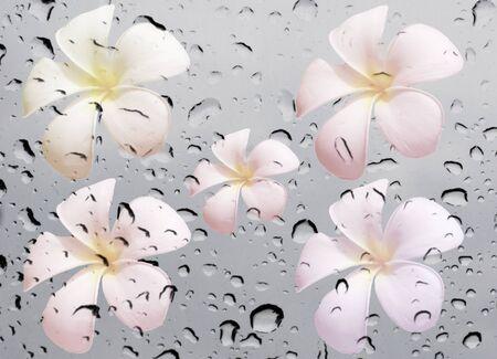 waterdrop: frangipani flower on waterdrop on glass texture background