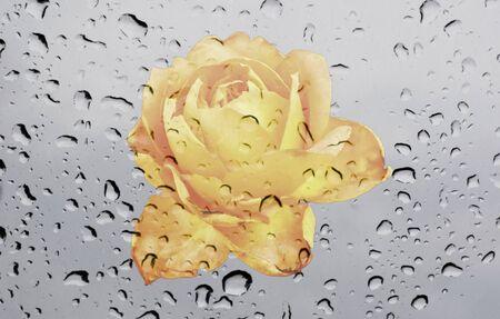 waterdrop: closeup pollen of rose flower on waterdrop on glass texture background