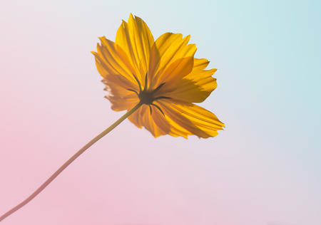 pantone: orange color of cosmos flower with pantone colorful filter