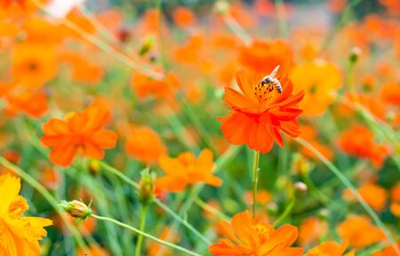 returning: bee suck soft drink from orange flower Stock Photo
