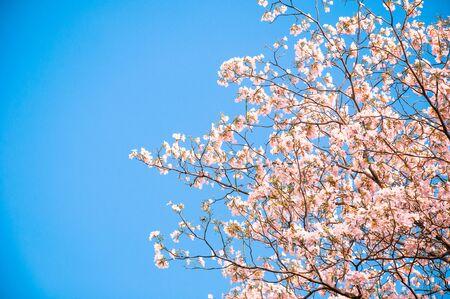 rosea: Pink trumpet Flower (Tebebuia) blooming, Tabebuia rosea with blue sky