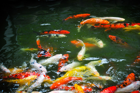 clear waters: A group of fancy carp or Colorful koi carps swim in clear waters the pond, colorful koi fish in the pond