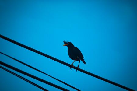 common myna bird: one black bird to hold at power line on blue sky background. indian myna. dark tone process