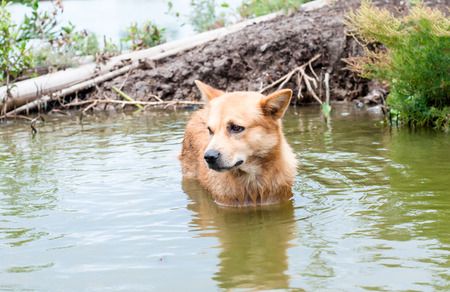 soak: dog is soak in water with eye contact looking for owner Stock Photo