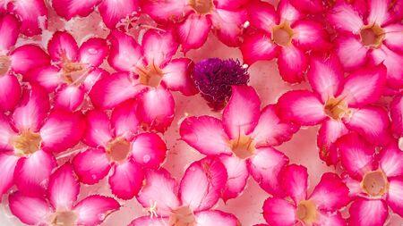 Desert Rose, Impala Lily, Mock Azalea and Globe amaranth are soar on water