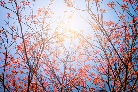 blurred of Prunus cerasoides flower on blue sky background with the sunlight. pink sakura thailand