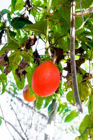 Jackfruit hang on the Jackfruit tree in garden