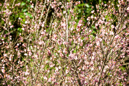 many branches: blurred of young small pink Flowers on many branches. Beautiful Fresh spring Natural background