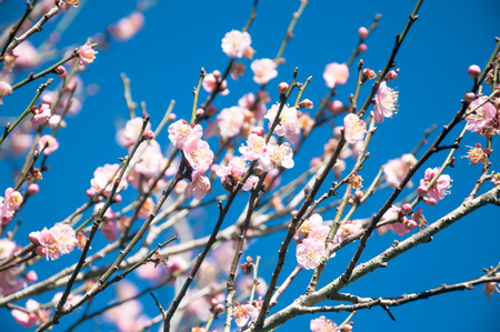many branches: young small pink Flowers on many branches. Beautiful Fresh spring Natural background Stock Photo