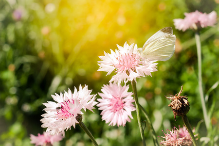 white butterfly is the Blooming pink Garden Cornflower, Centaurea cyanus, in flowerbed with sunlight, macro, selective focus Stock Photo