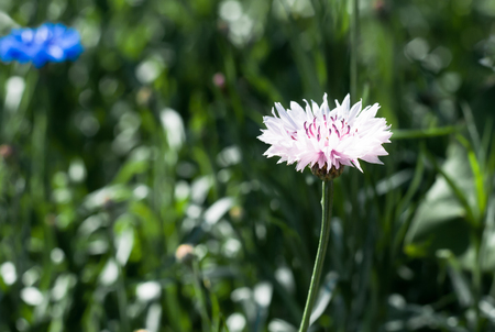 Blooming pink Garden Cornflower, Centaurea cyanus, in flowerbed with bokeh background, macro, selective focus