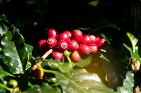 arabica coffee bean on the coffee tree in the garden with nature bokeh
