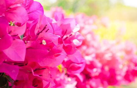 Pink bougainvillea flower are blooming in the garden with sunlight Stock Photo