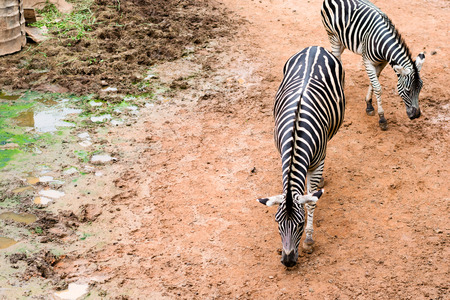 Black and white Zebras are standing on land