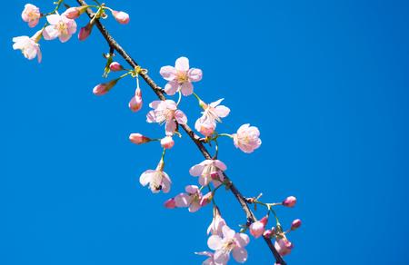 the blurred of Prunus cerasoides flower on blue sky background. pink sakura thailand