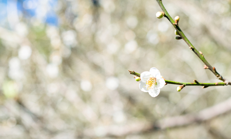 Chinese plum or japanese apricot beautiful white flower on apricot chinese plum or japanese apricot beautiful white flower on apricot garden background stock photo mightylinksfo