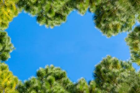 treetop  of Pinus merkusii tree in blue sky background with sunlight. copy space for graphic designer Standard-Bild