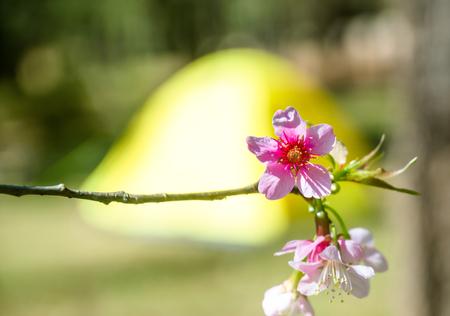 blurred of Prunus cerasoides flower with yellow tent for camping background. pink sakura thailand Standard-Bild