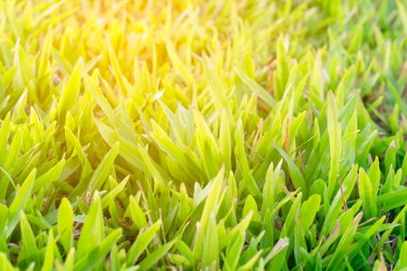 sunshine on green grass background texture
