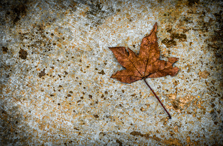 dried maple leaf on cement floor. copy space for graphic designer