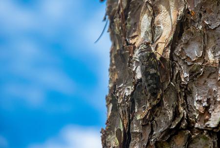 Cicada on trunk of tree. Standard-Bild